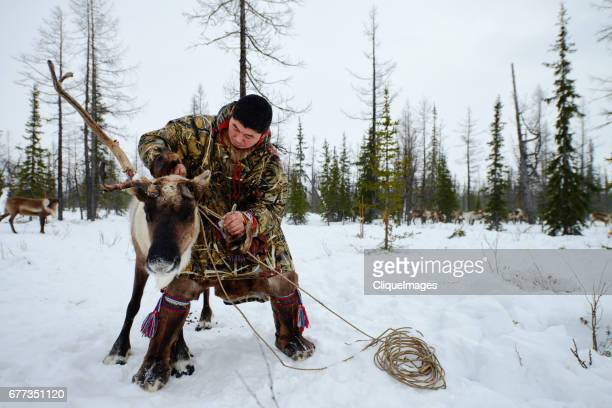 nenets herder roping reindeer - cliqueimages stock pictures, royalty-free photos & images