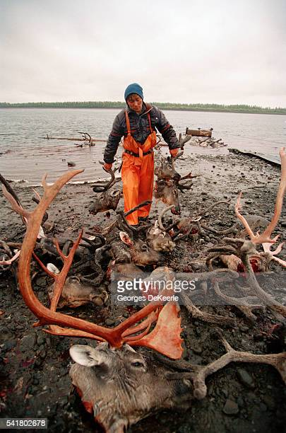 Nenetz hunters kill approximately 3000 reindeer a year The heads and skins of the animals are left behind