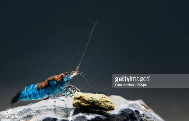 neocaridina (hippolyte denticulatus) underwater - shrimps stock pictures, royalty-free photos & images