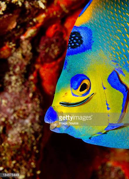Neon goby cleans Queen angelfish
