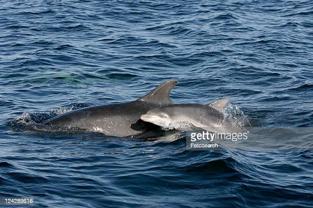 A neonate (newborn) bottle nose calf surfaces beside a research boat next to its mother, Moray Firth, Scotland.