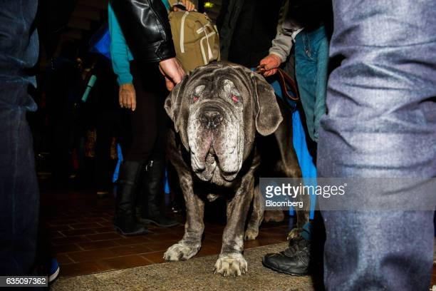 A Neopolitan Mastiff dog stands among the crowd during the annual Meet the Breed event ahead of the 141st Westminster Kennel Club Dog Show in New...