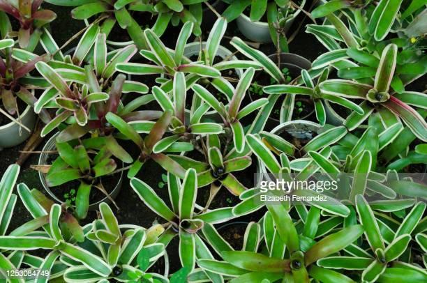 neoregelia carolinaeorblushing bromeliad plants - bromeliaceae stock pictures, royalty-free photos & images