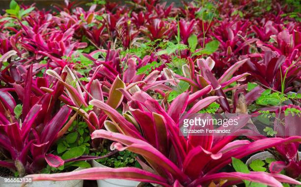 neoregelia fireball bromeliad - bromeliad stock photos and pictures