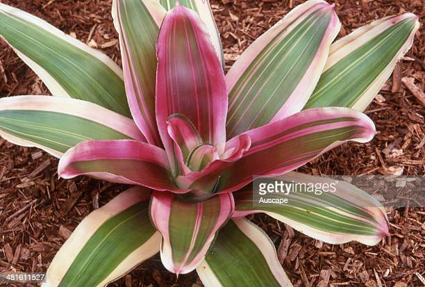 Neoregelia Imperfecta, Neoregelia carolinae X Painted Lady, Neoreglia bracts are at their most colourful at flowering time