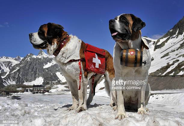 NEOSaint Bernard dog Katy and Salsa pose at the Great Saint Bernard mountain pass on June 4 2009 after their arrival at the monastery for the summer...