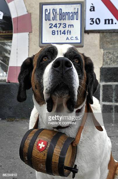 NEOSaint Bernard dog Salsa poses at the Great Saint Bernard mountain pass on June 4 2009 after its arrival at the monastery for the summer season The...