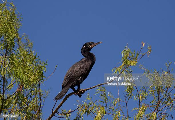 neotropic cormorant in trees - posadas stock pictures, royalty-free photos & images