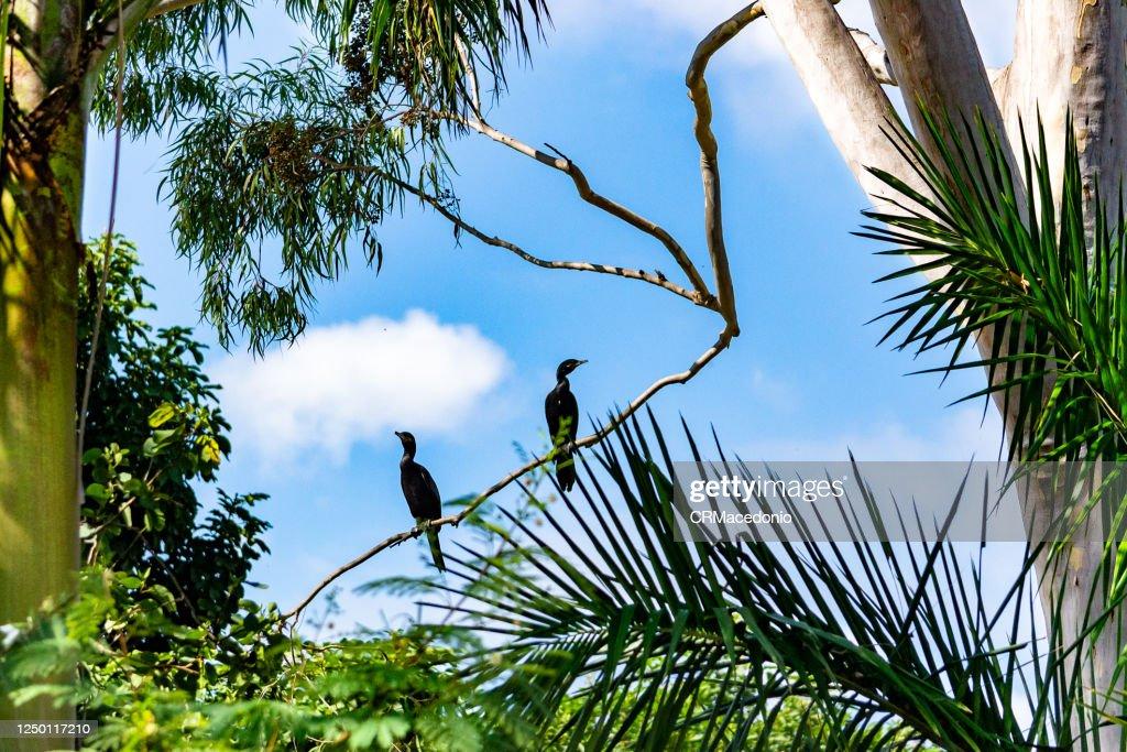 Neotropic cormorant : Stock-Foto