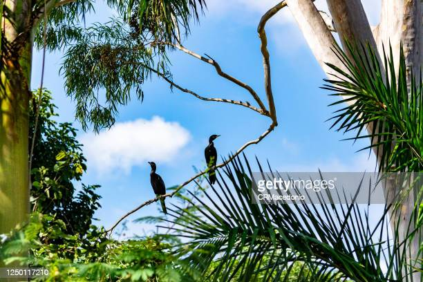 neotropic cormorant - crmacedonio stock pictures, royalty-free photos & images