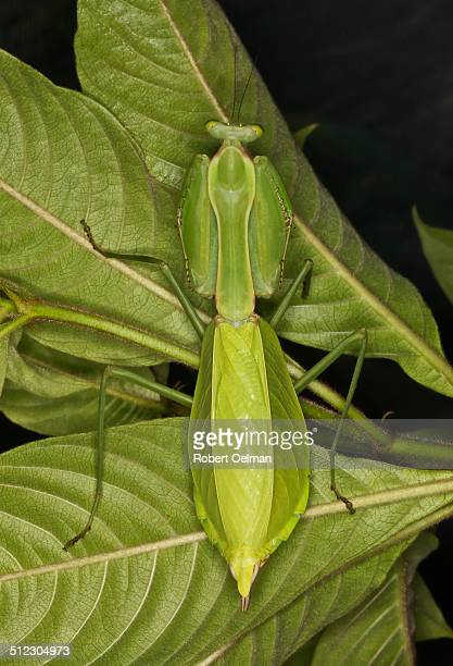 Neotropical mantis Macromantis hyalina