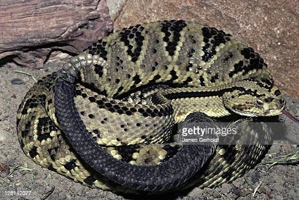 neotropical rattlesnake, crotalus durissus durissus, mexico / california, usa - squamata stock photos and pictures