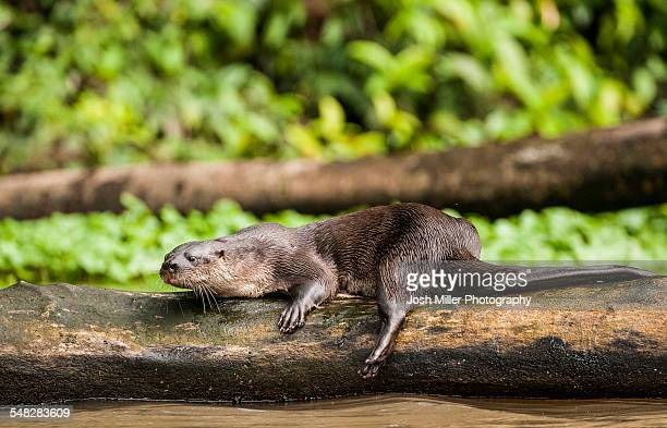 neotropical river otter (lontra longicaudis) - river otter stock pictures, royalty-free photos & images