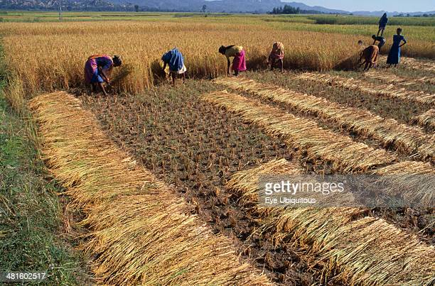 Nepal, Eastern Terai, Agriculture, Rice harvest.