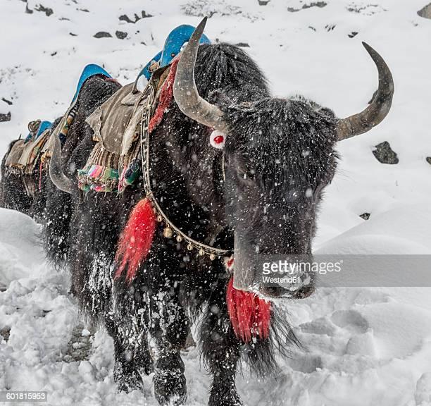 Nepal, Himalaya, Khumbu, Dughla, yaks in snowfall