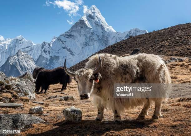 nepal, himalaya, khumbu, everest region, kongma la, yaks and ama dablam - yak stock pictures, royalty-free photos & images