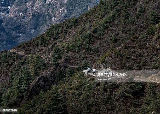 Nepal, Himalaya, Khumbu, pack animals on hiking trail