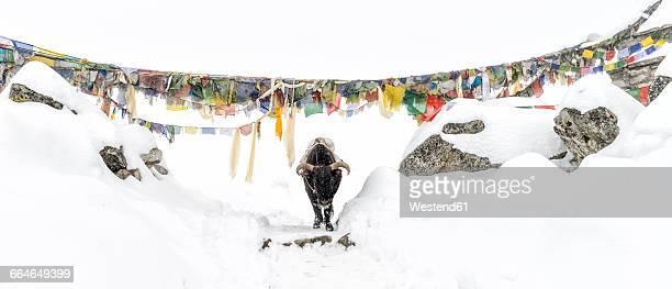 Nepal, Himalaya, Solo Khumbu, Ama Dablam, yak on trail in snow