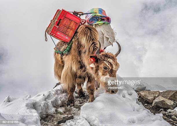 nepal, himalayas, khumbu, everest region, yak carrying supplies - yak stock pictures, royalty-free photos & images