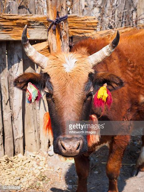 nepal, manang, ngawal: brown cow with red and yellow ear tassels - annapurna circuit stock photos and pictures