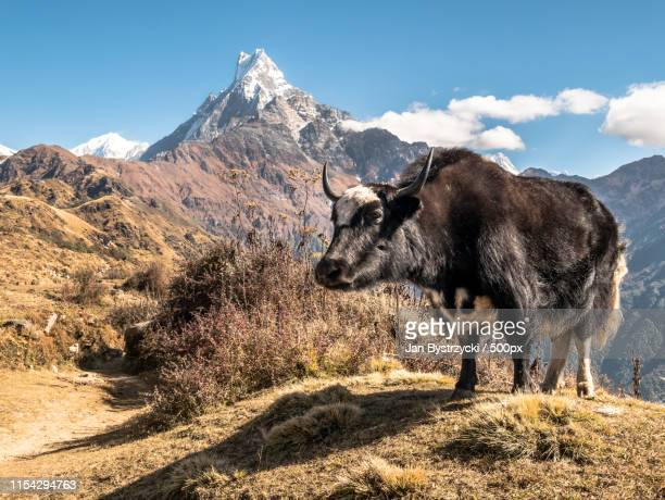 nepal - yak stock pictures, royalty-free photos & images