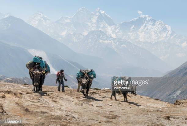 nepal, solo khumbu, everest, dingboche, sherpa guiding pack animals through the mountains - yak stock pictures, royalty-free photos & images