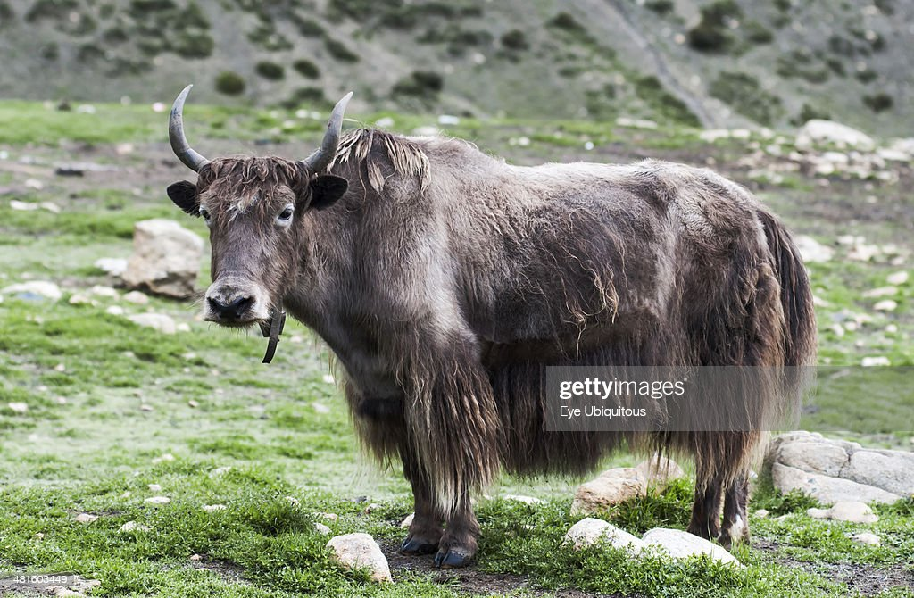 Close up view of a yak on a green high mountain pasture : News Photo