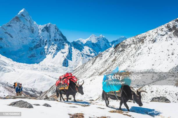 nepal yaks and driver on snowy himalayan mountain trail khumbu - khumbu stock pictures, royalty-free photos & images