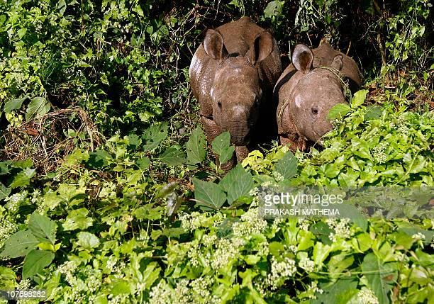 Nepalenvironmentconservationwildlifetourism BY CLAIRE COZENSOnehorned rhinoceros cubs graze Mikania Micrantha climber vine plants in Chitwan National...