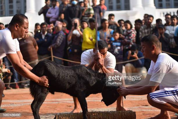 A Nepalese devotee prepares to slaughter a goat on the occasion of Navami ninth day of Dashain Festival at Basantapur Durbar Square Kathmandu Nepal...
