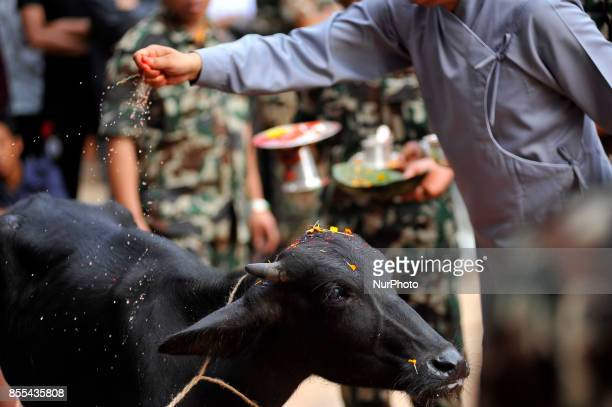 A Nepalese devotees prepares to slaughter a Buffalo on the occasion of Navami ninth day of Dashain Festival at Basantapur Durbar Square Kathmandu...