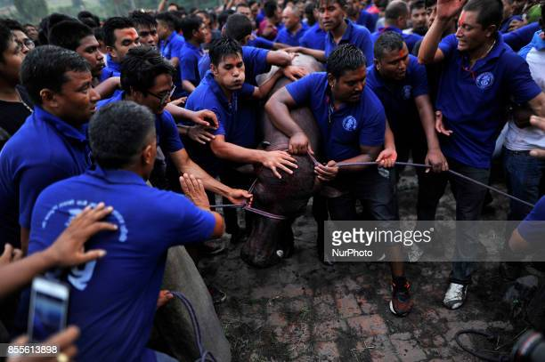Nepalese devotees pulling a water buffalo as part of rituals before it is sacrificed on the ninth day of Dashain Hindu Festival in Bhaktapur Nepal...