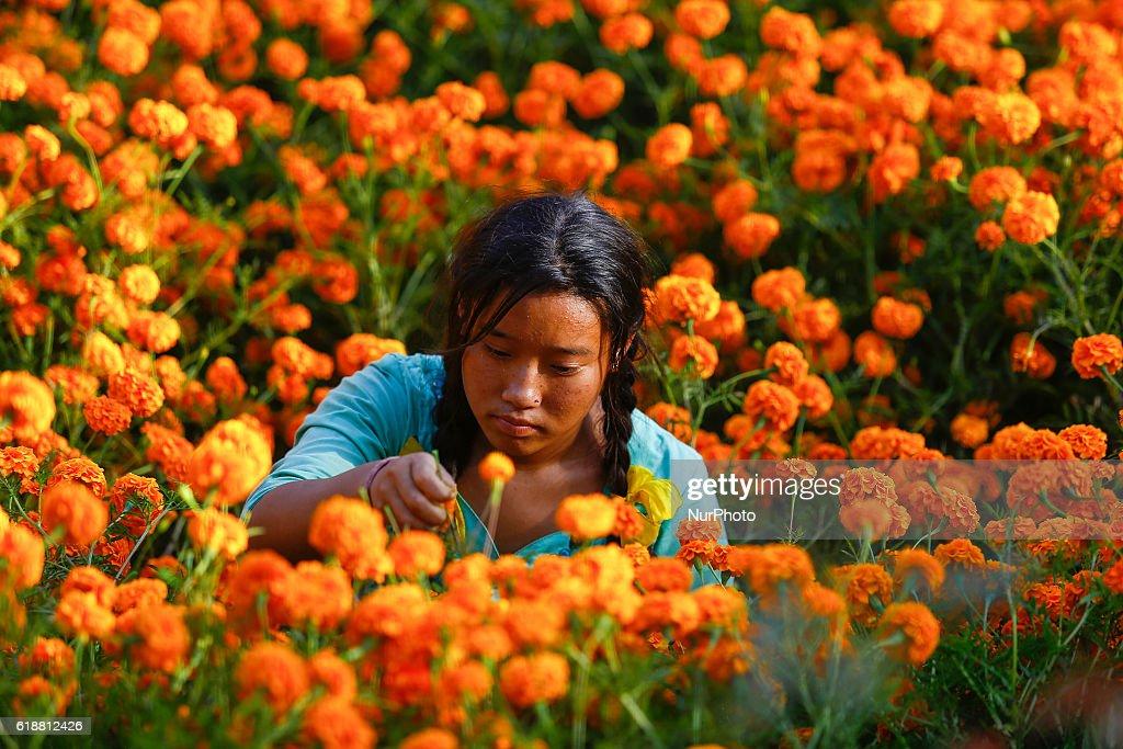 Nepalese farmer picks marigold flowers for the Tihar festival at Ichangu Narayan village, near Kathmandu, Nepal, October 27, 2016.