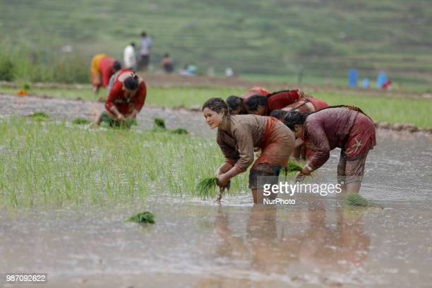 Nepalese farmer plant rice saplings at paddy field during National Paddy Day or Asar Pandra which marks the commencement of rice crop planting in...