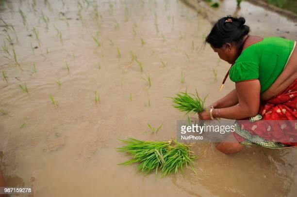 A Nepalese farmer plants Rice Samplings during the celebration of National Paddy Day quotASHAD 15quot at Dakshinkali Kathmandu Nepal on Friday June...