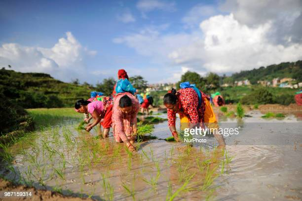 Nepalese farmer plants Rice Samplings during the celebration of National Paddy Day quotASHAD 15quot at Chhampi Patan Nepal on Friday June 29 2018...