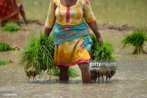 A Nepalese farmer transport Rice Samplings during the celebration of National Paddy Day quotASHAD 15quot at Chhampi Lalitpur Nepal on Sunday June 30...