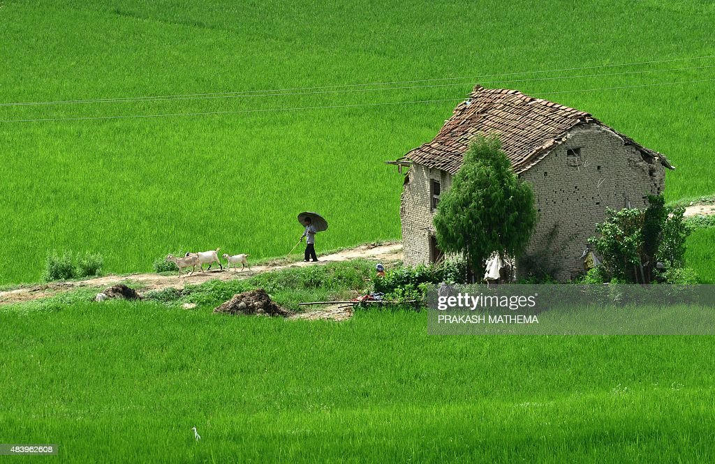 A Nepalese farmer walks through a paddy field to his home at the village of Khokana, on the outskirts of Kathmandu on August 14, 2015. The traditional Newari village of Khokana is famous for its unusual mustard-oil harvesting process in which a heavy wooden beam is used to crush mustard seeds in order to extract the oil. AFP PHOTO/ Prakash MATHEMA