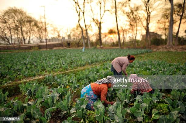 Nepalese farmer working on their vegetables field at Bhaktapur, Nepal on Friday, March 02, 2018.