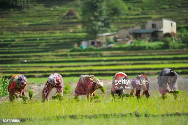 CHHAMPI PATAN NEPAL KATHMANDU NP NEPAL Nepalese farmers plant rice samplings during the celebration of National Paddy Day ASHAD 15 at Chhampi Patan...
