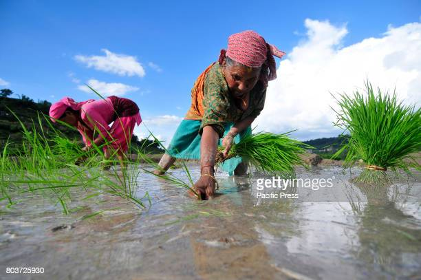 Nepalese farmers plant rice samplings during the celebration of National Paddy Day ASHAD 15 at Chhampi Patan Nepal Nepalese people celebrates Rice...