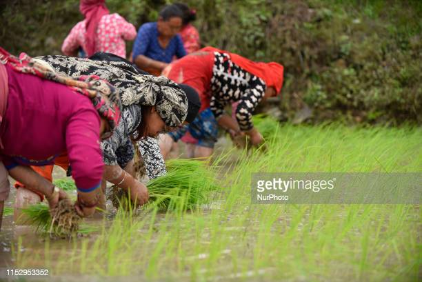 Nepalese farmer's plants Rice Samplings during the celebration of National Paddy Day quotASHAD 15quot at Chhampi Lalitpur Nepal on Sunday June 30...