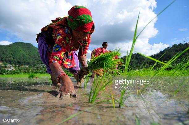 Nepalese farmer's plants Rice Samplings during the celebration of National Paddy Day quotASHAD 15quot at Chhampi Patan Nepal on Thursday June 29 2017...