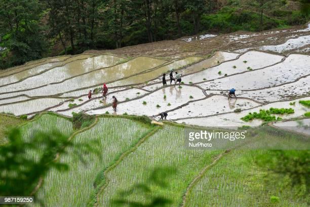Nepalese farmer's plants Rice Samplings during the celebration of National Paddy Day quotASHAD 15quot at Dakshinkali Kathmandu Nepal on Friday June...