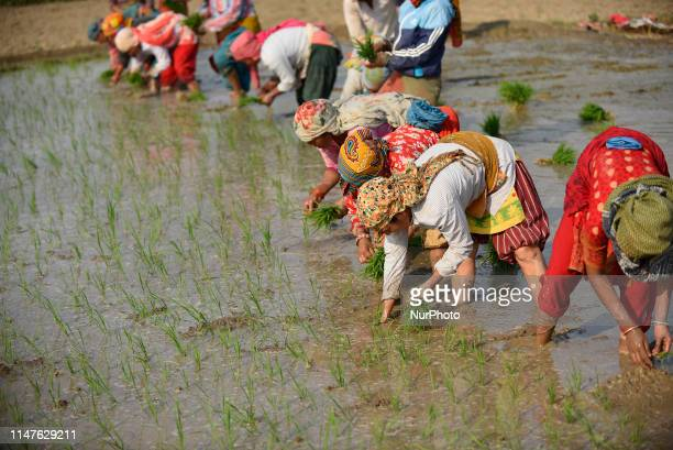Nepalese farmer's plants rice samplings in the rice paddy field at Chhampi Lalitpur Nepal on Sunday June 02 2019 The United Nations had declared to...