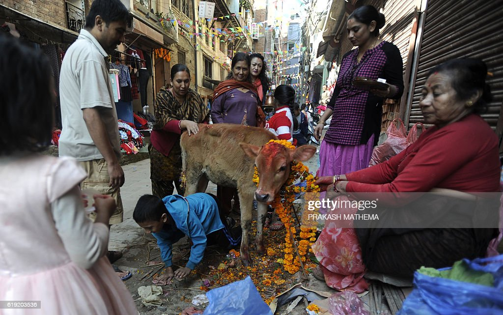 A Nepalese Hindu devotee crawls under a cow regarded as an incarnation of the Hindu Goddess of prosperity Laxmi, during the Tihar (Diwali) festival in Kathmandu on October 30, 2016. Hindus across the country worship cows on the third day of the Tihar festival which commemorates the time when Hindu god Lord Rama achieved victory over Ravana and returned to his kingdom after 14 years in exile. / AFP / PRAKASH