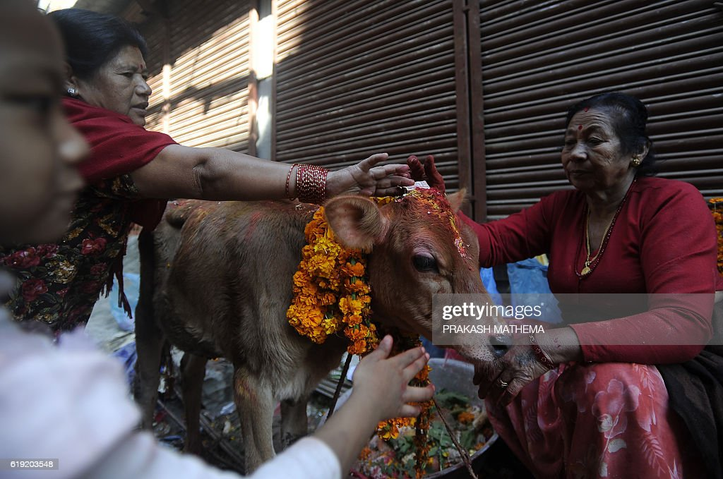 Nepalese Hindu devotees worship and offers fruit to a cow, regarded as an incarnation of the Hindu Goddess of prosperity Laxmi, during the Tihar (Diwali) festival in Kathmandu on October 30, 2016. Hindus across the country worship cows on the third day of the Tihar festival which commemorates the time when Hindu god Lord Rama achieved victory over Ravana and returned to his kingdom after 14 years in exile. / AFP / PRAKASH