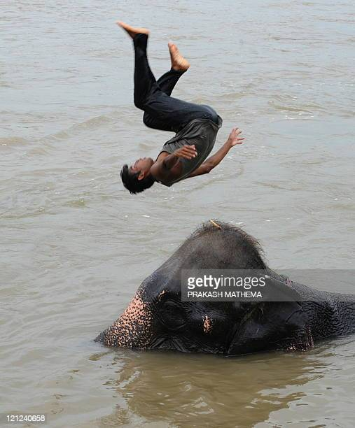 Nepalese mahout jumps into the water off the back of an elephant bathing in the waters of the Rapati river at Chitwan, some 200kms southwest of...