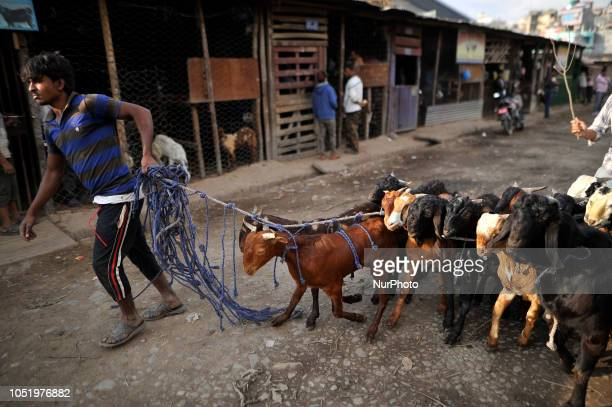 A Nepalese man dragging goat after buying for the Dashain the biggest religious festival of Hindus in Nepal on Friday October 12 2018 at livestock...