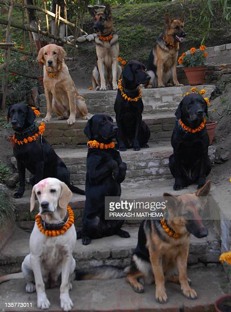 Nepalese police dogs pose as their unseen handlers salute them at The Central Police Dog Training School in Kathmandu 08 November 2007 to mark Dogs...